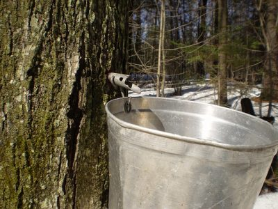 Can Joy Flow Like The Sap Of A Maple Tree?