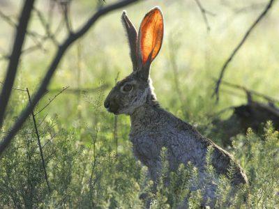 Alert Rabbit Tuned In To Surroundings